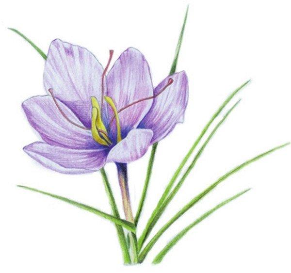 2,番紅花花瓣較大,注意刻畫時筆觸要細小,利用筆觸來豐富花瓣紋理