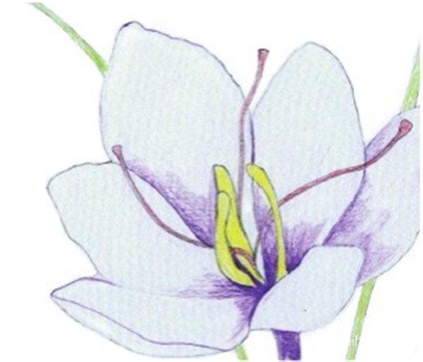 3、使用黄色和暗红色为花蕊上色,再用紫色画出花朵基本色,对花瓣边缘线的处理要注意轻重关系和线条的流畅度。  水粉番红花画法步骤三 4、使用黄绿色为叶子平涂一层基本色,注意虚实,离自己越近的越清晰。  水粉番红花画法步骤四 5、使用蓝色加深花蕊处深色部分,拉开花朵的空间层次。  水粉番红花画法步骤五 6、用紫色和紫色为花瓣亮部上色,绘制出花瓣上的纹路,注意笔触要细腻、干净。  水粉番红花画法步骤六