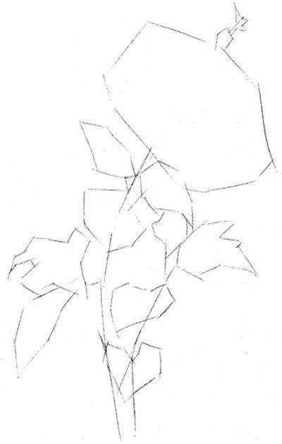 彩铅木槿花的绘画教程