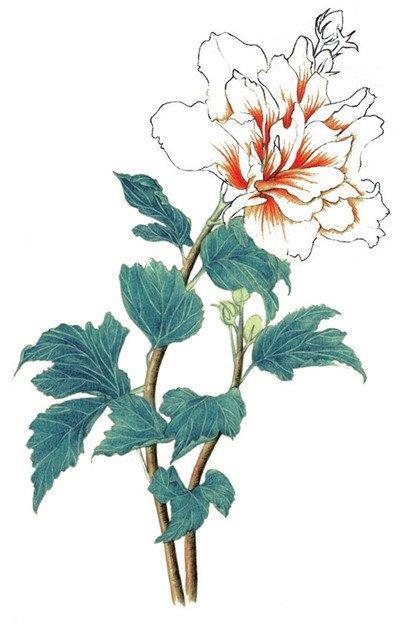 彩铅木槿花的绘画教程(6)