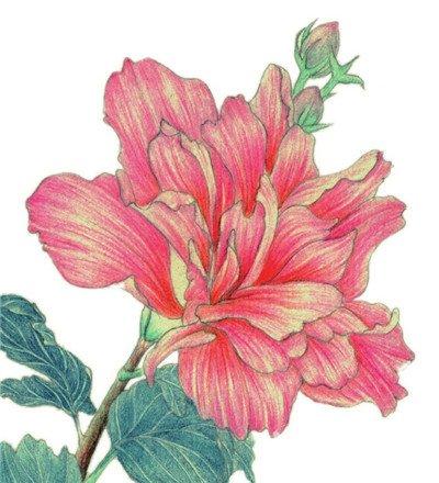 彩铅木槿花的绘画教程(7)