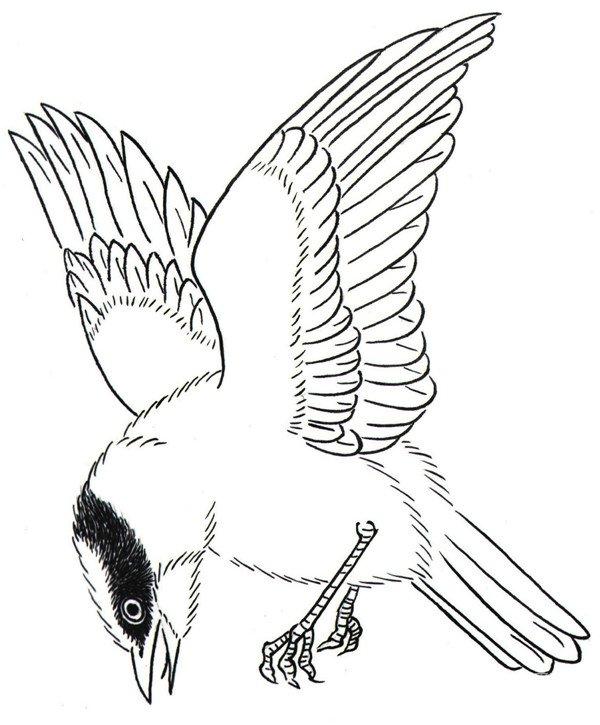 白描禽鸟:黑脸山雀白描画图片欣赏(2)