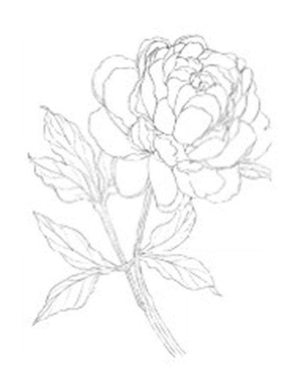 学画画 其他绘画教程 > 彩铅牡丹的绘画步骤      牡丹,双子叶植物纲