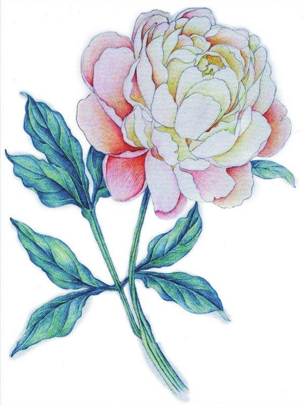 彩铅牡丹的绘画步骤(2)