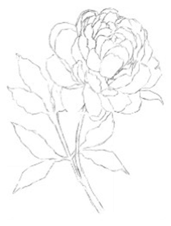 彩铅牡丹的绘画步骤(4)