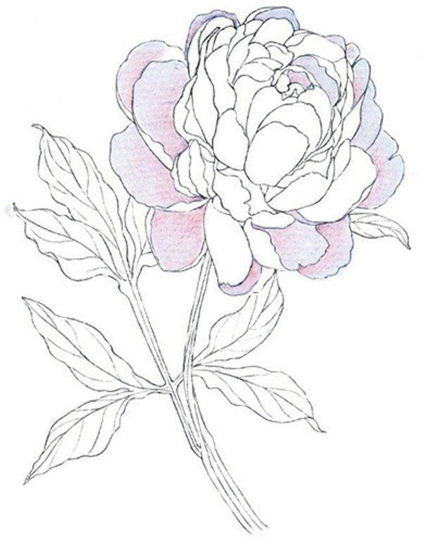 彩铅牡丹的绘画步骤(5)