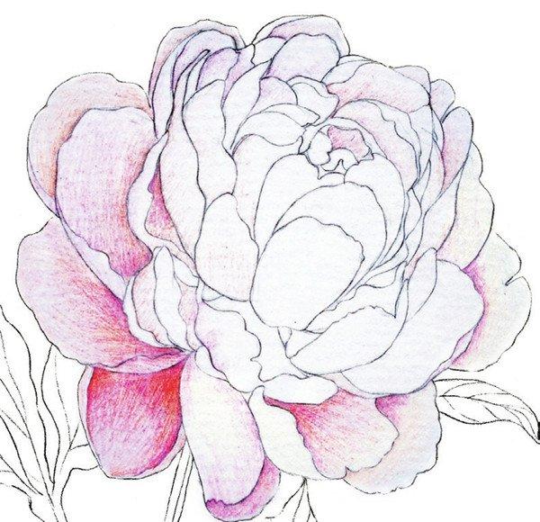 彩铅牡丹花朵颜色