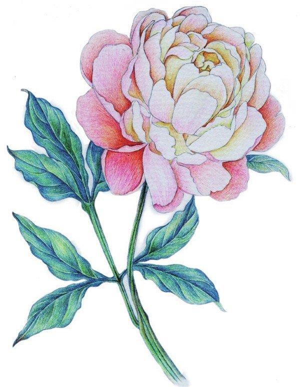 10、使用黑色,给画面增添重色,令叶、茎的体积感更强。  彩铅牡丹绘画步骤十 11、使用蓝色为叶子亮部轻描颜色,用黄色为中心花瓣上色,一朵优雅的牡丹就绘制完成了。  彩铅牡丹绘画步骤十一 【说一说】 叶脉留白时,要向叶子边缘方向慢慢过渡。 牡丹颜色淡雅,用色时,选择颜色较淡的笔进行绘制,绘制时,靠近花蕊的地方颜色较深。