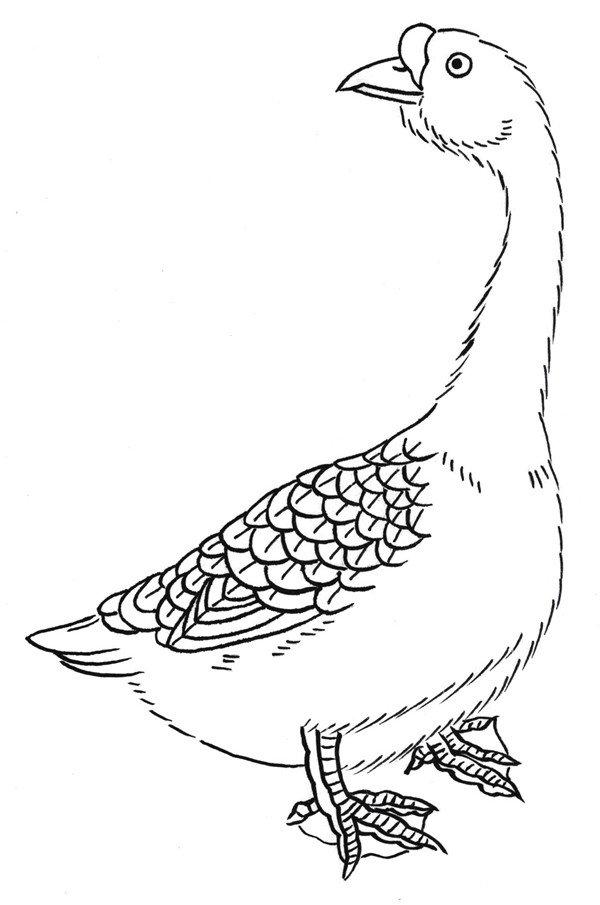 白描鹅的绘画步骤(2)