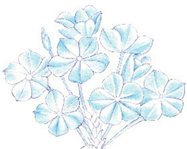 > 彩铅蓝雪花的绘画技法(5)                  4,选择蓝色绘制花朵