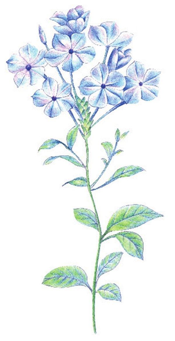8、用黄绿色为叶子亮部上色。  彩铅蓝雪花绘画步骤八 9、继续用绿色为叶子上色,进一步叠深出叶子的光感效果。  彩铅蓝雪花绘画步骤九 10 、用蓝色刻画花朵暗部细节,丰富画面层次,细化花朵。  水粉蓝雪花绘画步骤十 11 、用绿色加深叶、茎暗部,完成雪蓝花的绘制。  彩铅蓝雪花绘画步骤十一 蓝雪花,花小而单薄,在笔触用线上需细而长,这点同学们在绘画时需要多加注意的!