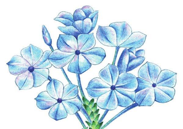 彩铅蓝雪花的绘画技法(6)
