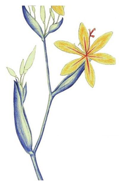 水粉花卉画射干的绘画步骤六-水粉射干花的绘画步骤教程 5