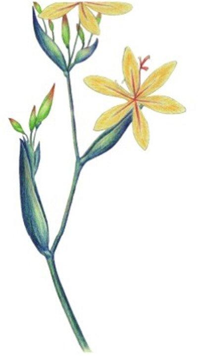 水粉花卉画射干的绘画步骤八-水粉射干花的绘画步骤教程 5