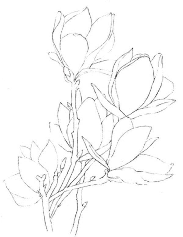 彩铅木兰花的绘画教程