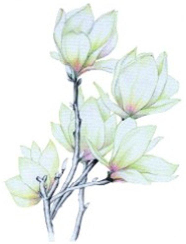 彩铅木兰花的绘画教程(2)