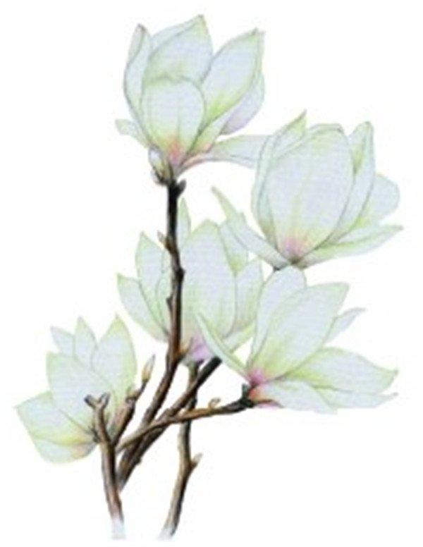 彩铅木兰花的绘画步骤六