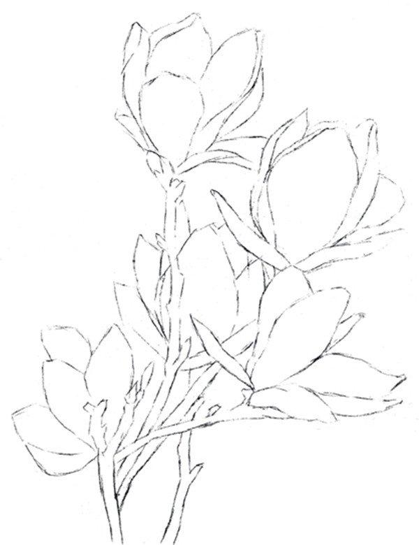 1、画出木兰花的枝干和花朵的大致轮廓及位置。  彩铅木兰花的绘画步骤一 2、画出花瓣、花枝的外部轮廓,确定画面的主次关系。  彩铅木兰花的绘画步骤二 3、完善线稿,突出木兰花花瓣的肥大特点,擦除不需要的线条。  彩铅木兰花的绘画步骤三