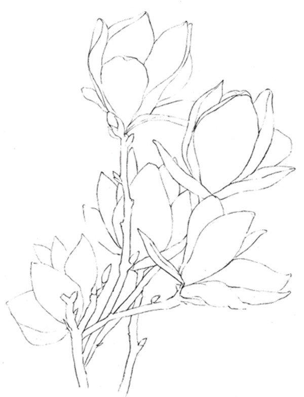 彩铅木兰花的绘画教程(4)