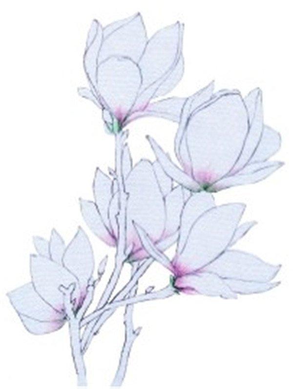 彩铅木兰花的绘画步骤四