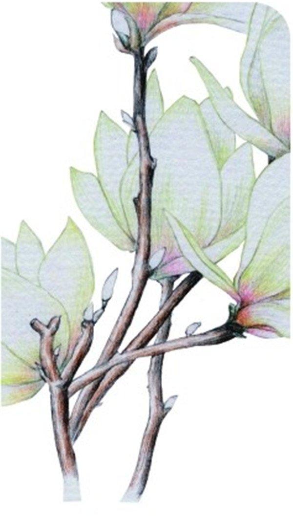 彩铅木兰花的绘画步骤八