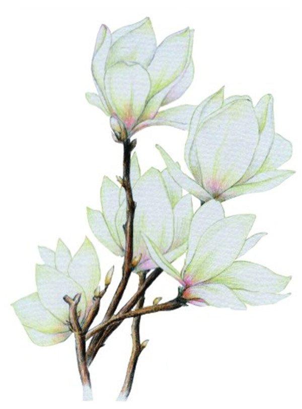 彩铅木兰花的绘画教程(6)