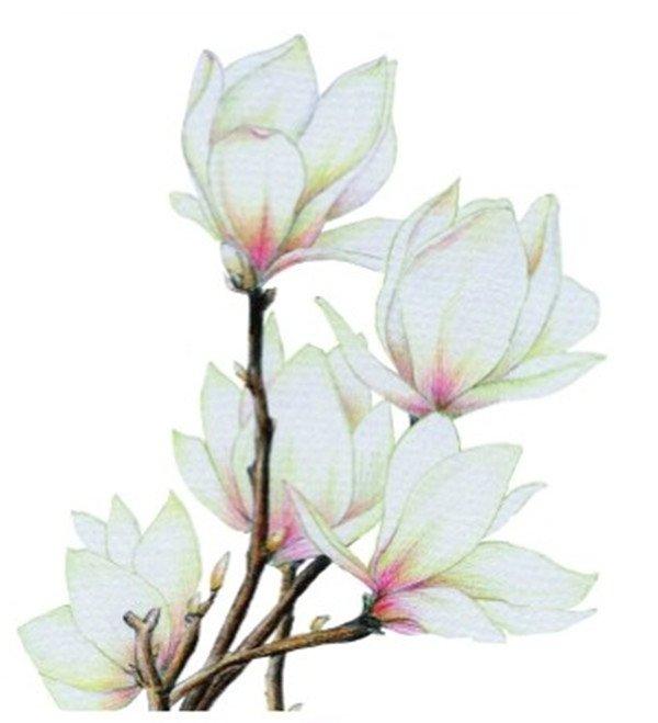 彩铅木兰花的绘画步骤十