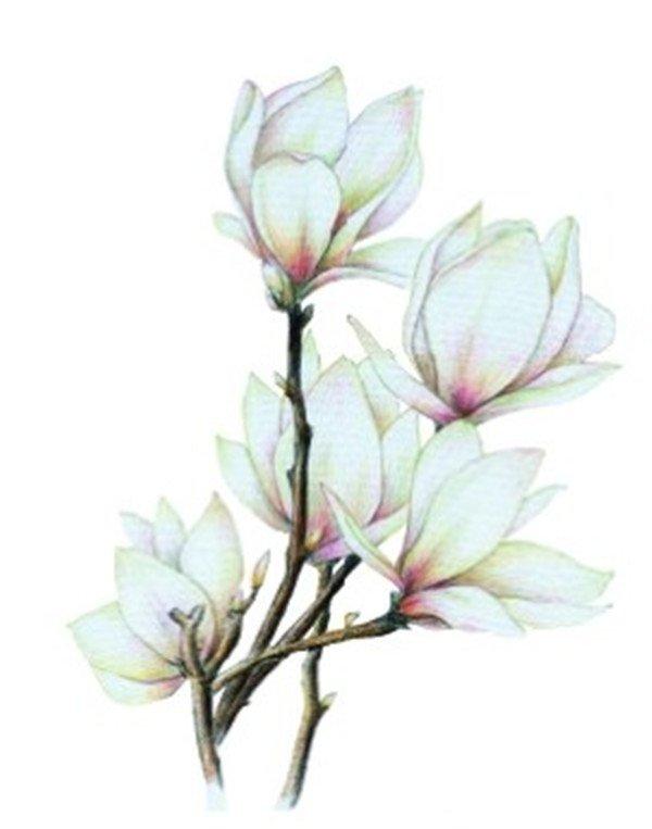 彩铅木兰花的绘画步骤十一