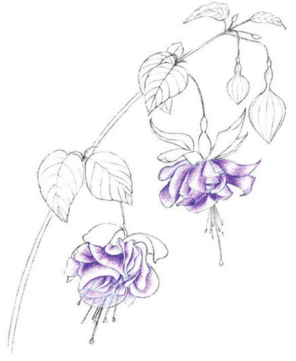 水粉花卉画入门:水粉倒挂金钟的绘画步骤教程