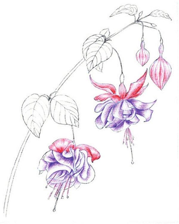 水粉花卉画入门:水粉倒挂金钟的绘画步骤教程(2)