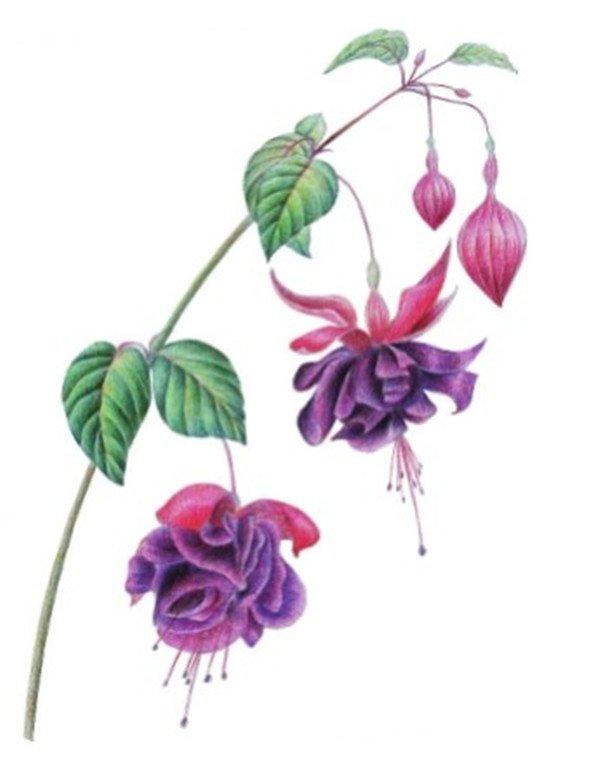 水粉花卉画入门:水粉倒挂金钟的绘画步骤教程(3)