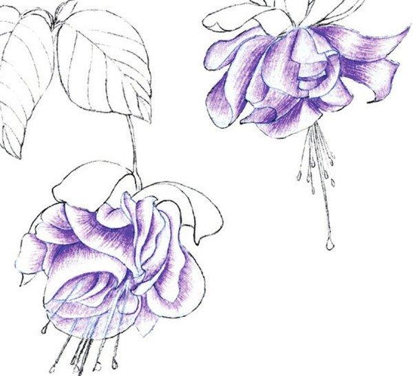 水粉花卉画入门:水粉倒挂金钟的绘画步骤教程(5)