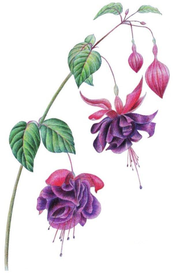 12、用暗红色和蓝色加深花朵颜色及层次,强化体积感,使画面柔和。  水粉倒挂金钟绘画步骤十二 13、用紫色和紫色加深花苞颜色,比较画面的远近效果,再一次调整画面的虚实关系。  水粉倒挂金钟绘画步骤十三 14、选择棕色和土黄色刻画叶、茎颜色,用黑色调整花朵颜色,再整体调整画面,倒挂金钟就完成了。  水粉倒挂金钟绘画步骤十四 花朵垂于茎杆,颜色艳丽是倒挂金钟的形态特点,大家注意了!