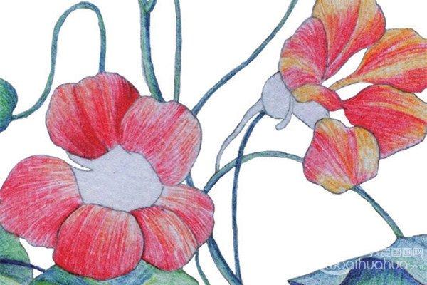 彩铅旱金莲的绘画教程