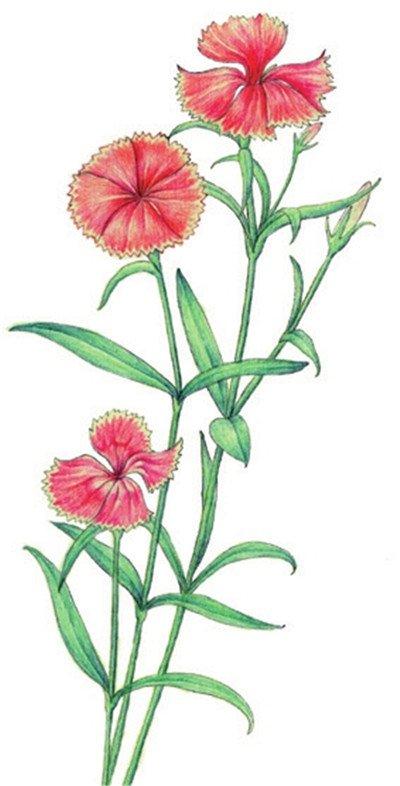 水粉花卉画入门 石竹的绘画步骤教程 2