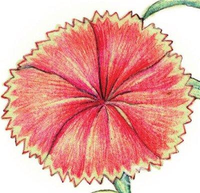 水粉花卉画入门 石竹的绘画步骤教程 4