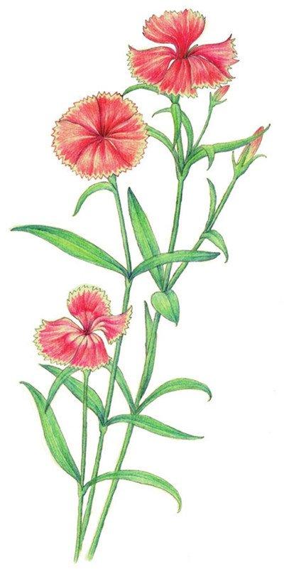 水粉花卉画入门:石竹的绘画步骤教程(6)