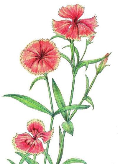 水粉花卉画入门 石竹的绘画步骤教程 6