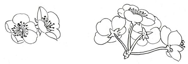 白描腊梅和鸟的绘画步骤教程图片