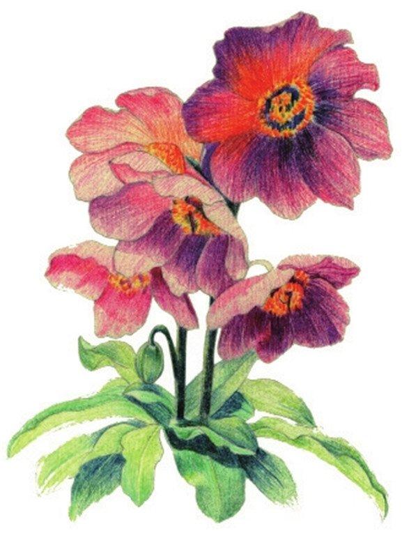 水粉花卉画入门:绿绒蒿的绘画步骤教程(2)