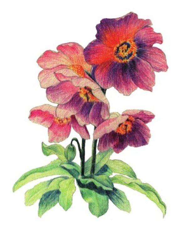 水粉花卉画入门 绿绒蒿的绘画步骤教程 5