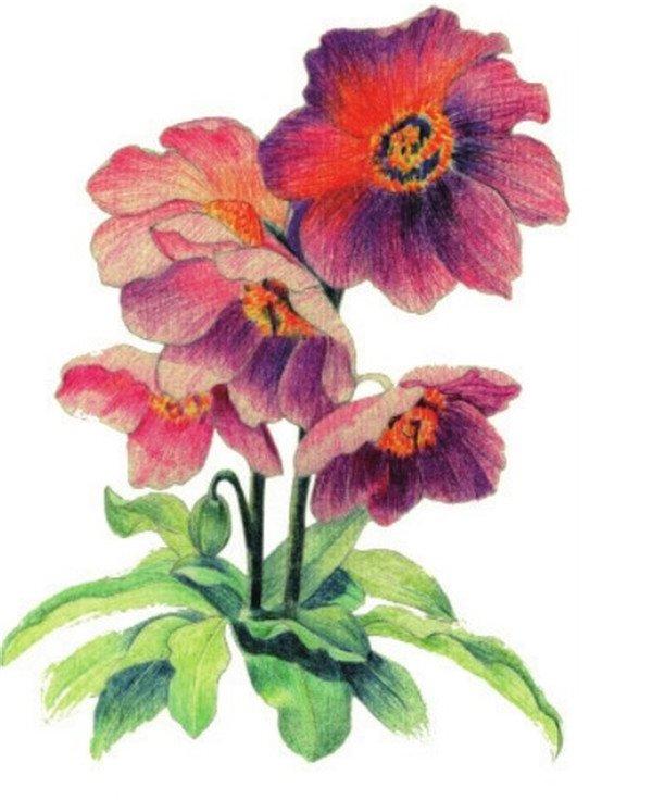 水粉花卉画入门:绿绒蒿的绘画步骤教程(5)