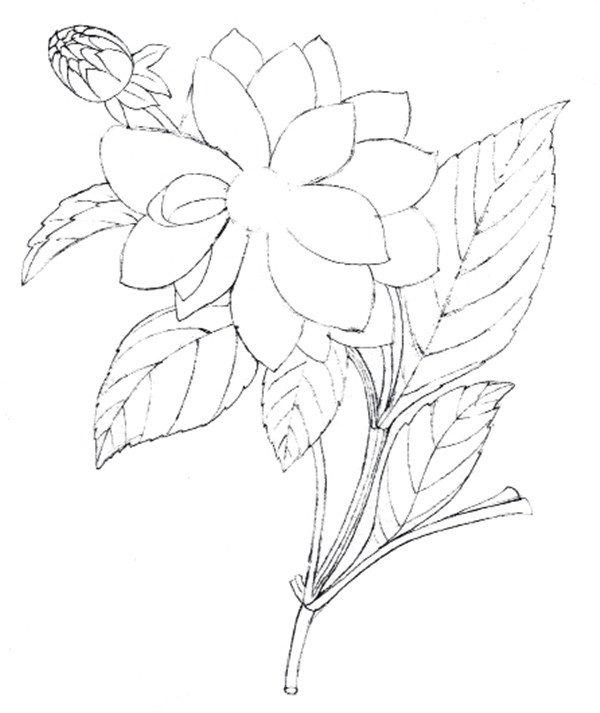 大丽花的绘画步骤教程    1,绘制大丽花大概外形    2,完善大丽花线稿