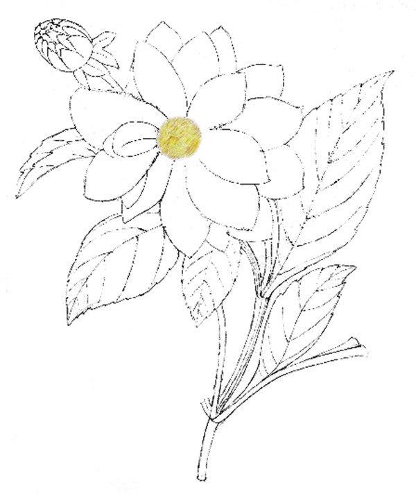 水粉花卉画入门:水粉大丽花的绘画步骤教程
