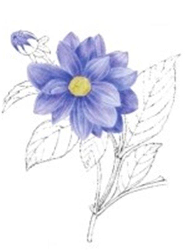 水粉花卉画入门:水粉大丽花的绘画步骤教程(2)