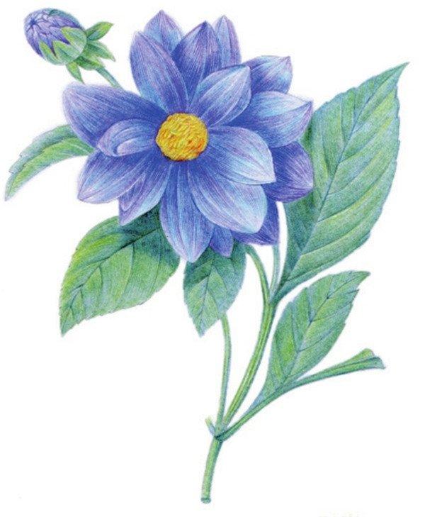 水粉花卉画入门 水粉大丽花的绘画步骤教程 2 水粉画