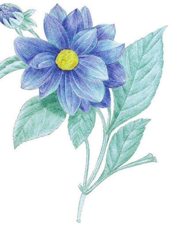 > 水粉花卉画入门:水粉大丽花的绘画步骤教程(6)      6,综合蓝色和紫