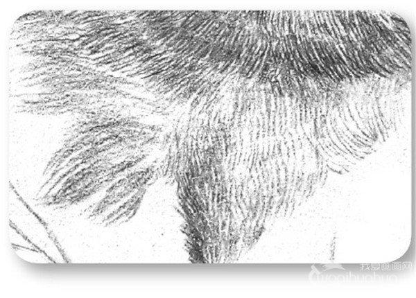 素描动物小猫咪的绘画步骤教程(4)