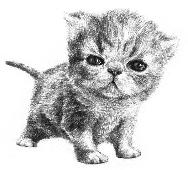 素描动物小猫咪的绘画步骤教程(6)