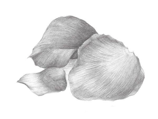 素描玫瑰花瓣步骤教程 2图片